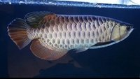 PLANET AROWANA NEW STOCKLIST DECEMBER