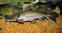 Widehead catfish Clarotes laticeps 12 inches �