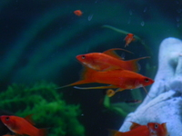 SWORDTAILS, Long-finned Lyretails for sale - HAVANT