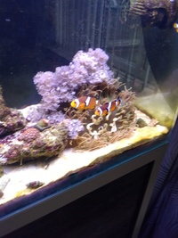 Pair of clown fish looking to trade for a dwarf angel our dwarf lion 30 cash