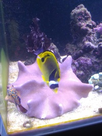 Racoon butterfly fish 3to4 inch trade for dwarf angel fish our lion fish �cash