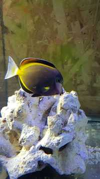 Marine Fish for Sale - Platinum Clown - Tangs - Wrasses - Gobys etc