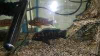 Adult Bumblebee cichlids males and females