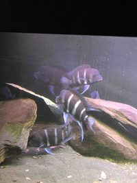 cyphotilapia frontosa moba blue zaire
