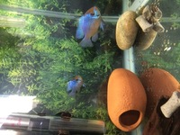 Large Electric blue rams Breeding pair