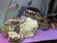 10 malawi tropical fish for sale