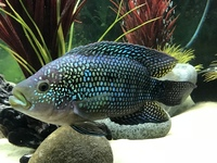 Jack Dempsey for sale - �