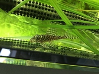 Plecos for sale L66 L240 L201 Green Blue Phantom