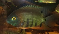 NOW SOLD-5 x 2 inch-Heros sp Rotkeil(Red Shoulder Severum) in Leeds-ono � or make me an offer