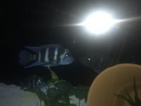 Breeding group of Zaire Blue Moba Frontosa 2m 3f Scotland �0