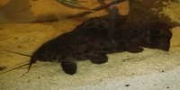 Hoplosternum Catfishes(1 male/2 females) 3.5 inch ono � Im Leeds