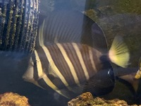Sailfin Tang approx 5-6 inches