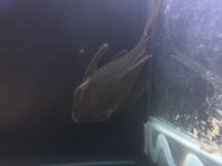 Huge royal pleco