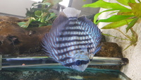 ADULT STENKER DISCUS FOR SALE