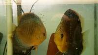 Various Discus For Sale (Scotland)