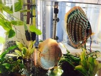 Adult discus pair �0