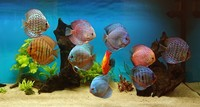 6 Stendker Discus for sale.