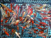 koi carp 3 to 4 inch �each or 5 for �