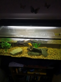 Two musk turtles, 36L tank, Eheim water filter, heater, light and condensation lid.