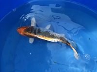 GENUINE HAND SELECTED JAPANESE KOI FOR SALE. GROWN BY US IN OUR OWN FACILITY.