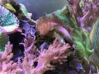 Toadstool Leather coral frags