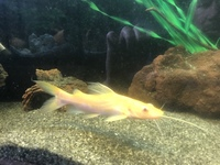 South,Central American cichlids for sale