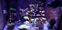 Various coral frags, collection only Hemel Hempstead