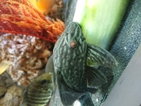 L190 Royal pleco 5 inches �