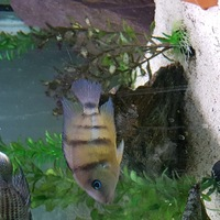 Cichlids $or sale