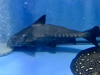 24 inch ripsaw catfish Free to a good home