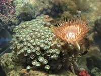 Live rock, green Zoah coral with red bubble tip anemone attached, blue legged hermits for sale