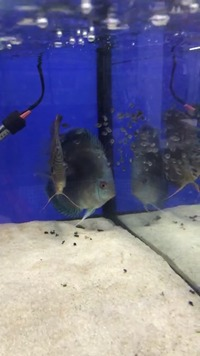 Breeding pair of Chens discus