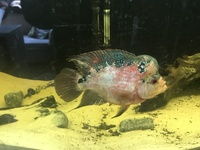 Flowerhorn, tank and more