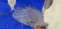 Stunning discus forsale as closing down tank