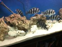 11 Breeding Colony Group Frontosa Cichlids