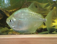 NOW SOLD---Excellent shoaling fish with big Cichlids---3 x Silver Dollar Tetras (2 x 4 inch/1 x 3 inch)--� or make me an offer for all 3 in Leeds