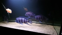 Cyphotilapia frontosa, moba, F0 XL young adults x 6