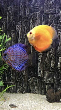 10 Discus fish for-sale