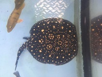 Breeding rays for sale