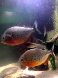 2 x Red Bellie Piranhas - sadly need rehoming urgently. �