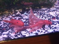 German super red Bristlenose long and short fins