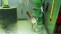 10x Pterophyllum scalare tank breed 4 months old