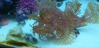 Rhinopias frondosa REDUCED PAID �0 WILL TAKE �0very rare WEEDY SCORPION FISH AMAZING BIZARRE reduced