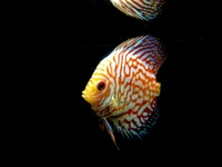 Discus for sale YORK