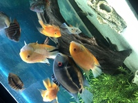 Breading pair of 5/6inch yellow severums - �