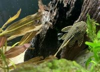 "5"" Roughly L018 Golden Nugget Pleco"