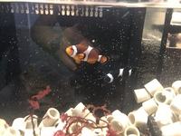 Pair of breeding clown fish for marine reef aquarium fish tank