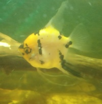 SOLD---Koi Angelfish female (4 inch) for sale in Leeds