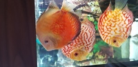 8 discus need gone asap from chens and durham discus