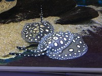 Stingray pups Pearls and BD hybrids